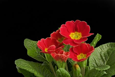 primula: red primula flower closeup