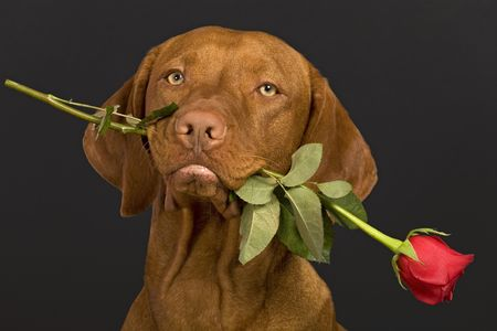 pure breed dog holding a rose stem in mouth