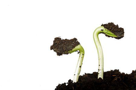 germinated sunflower seeds on white background
