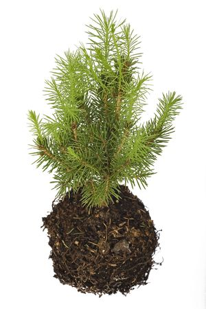 pine tree seedling isolated on white background Stock Photo - 6568324