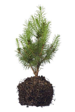 tree seedling isolated on white Stock Photo