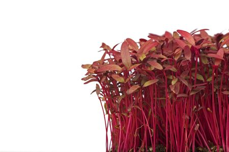 red fragile amaranth seedlings  iso0lated on white