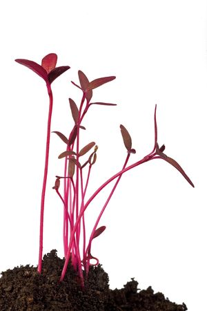 amaranth seedling macro isolated on white