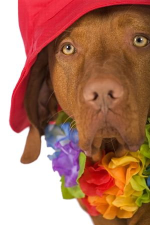dog protrait wearing a red hat isolated on white background Stock Photo