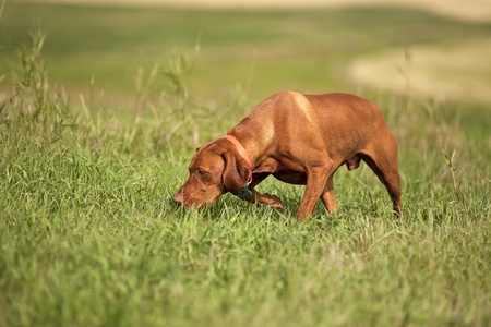 Pointing dog tracking in field  Stock Photo