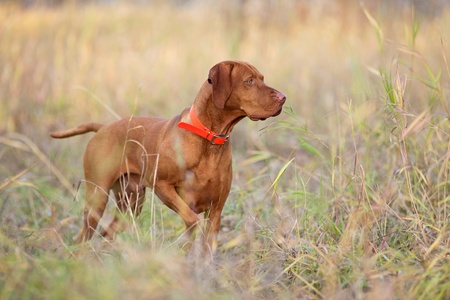 hunting dog pointing in field 스톡 콘텐츠
