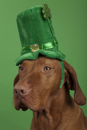 purebreed dog wearing a green St.Patricks Day hat on green background Stock Photo