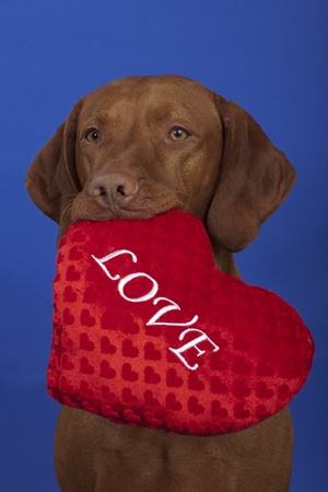 Vizsla dog with love inscripted soft toy in his mouth Stock Photo - 12430664