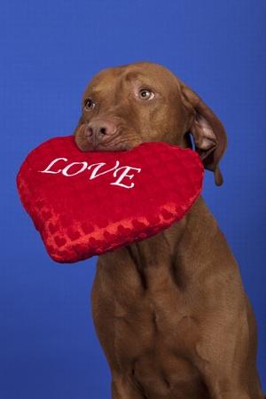 vizsla dog holding a red heart on blue background Stock Photo