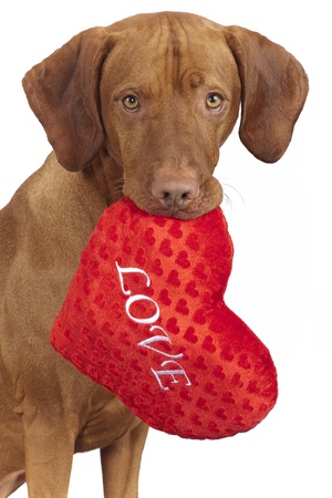 dog holding red heart shaped pillow