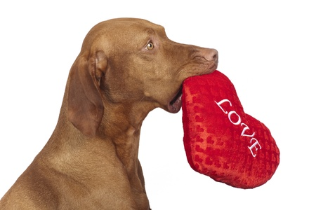 obedient vizsla dog holding red heart  Stock Photo - 12430669