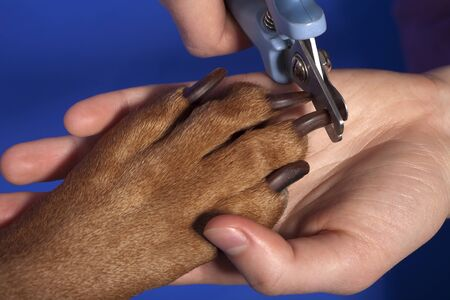 grooming: close up of cutting dog nail with specialty tool on blue background