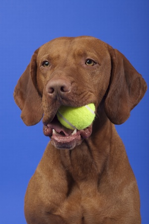 dog holding tennis ball in mouth on blue background Stock Photo