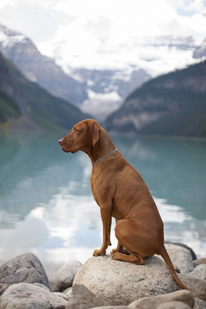pure breed Hungarian Vizsla show dogg sitting outddors by mountain lake Stock Photo