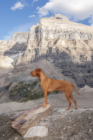 pure breed dog hiking in the mountains