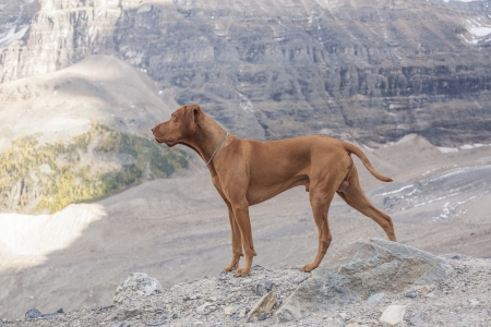 pure breed intact male Vizsla dog in the mountains
