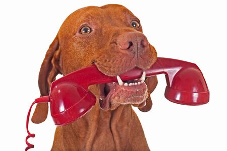phone: dog holding red phone receiver Stock Photo