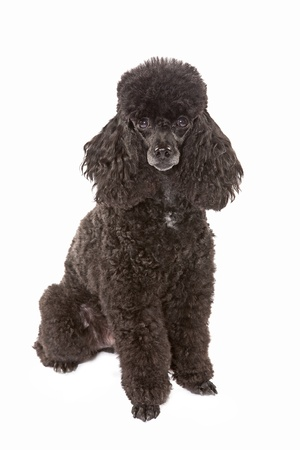 miniature dog: black miniature poodle Stock Photo