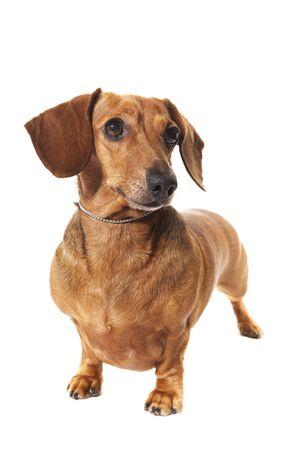 dachshund dog in studio isolated on white background Stock Photo