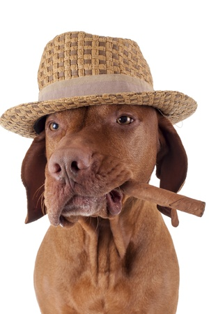 golden dog holding a cigar in mouth wearing a hat on white background