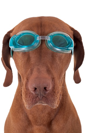 pure breed dog wearing swimming goggles isolated on white background