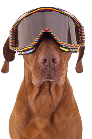 colorful ski goggles wearing dog portrait on white background