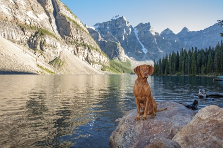 dog rock: hunting dog sitting on a rock by a high altitude glacier lake with cliffs i the background