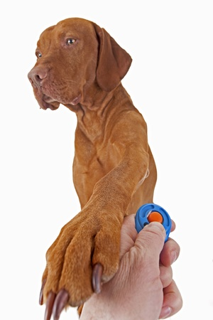 clicker: dog resting paw on human hand hoding clicker in sign of approval of positive reinforcement training Stock Photo