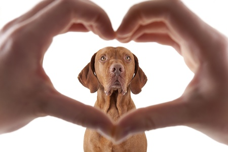 human hand forming a heart shape frame in the foreground with a golden dog in the middle on white background Stock Photo