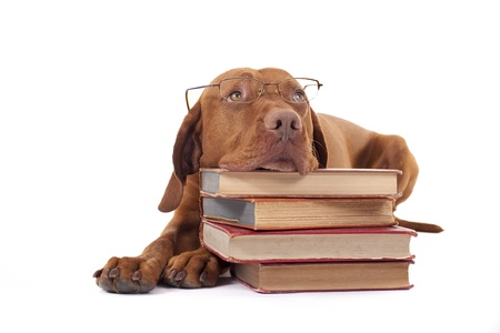 eyewear wearing golden color pure breed dog laying on floor resting head on a pile of books 스톡 콘텐츠