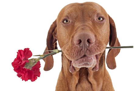 pure breed hunting dog holding a red carnation flower in the mouth isolated on white background