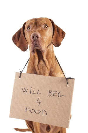 a pure breed gold color pointer dog with cardboard sign begging for food on white background