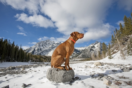 dog rock: pure breed gold color dog sitting on the top of a rock in winter setting with mountains ad cloudy skies in the background