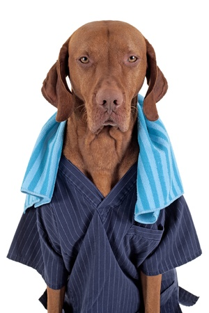 grouchy: gold color dog wearing work uniform and blue towel around the neck looking grouchy into the camera