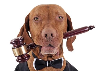 gerechtigkeit: goldene Farbe reine Rasse Vizsla Hund mit einem h�lzernen Hammer in den Mund auf wei�em Hintergrund Lizenzfreie Bilder