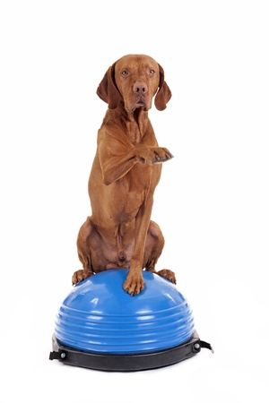 paw smart: pure breed gold color dog sitting on the top of a blu exercise ball and lifting  paw in air on white background