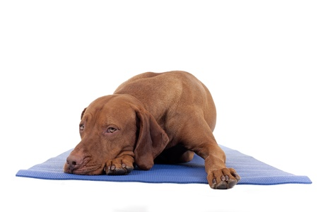 dog resting on yoga mat isolated on white background Stock Photo