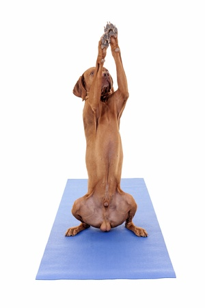 gold color dog reaching high in air with paws while sitting on a yoga mat isoated on white background photo