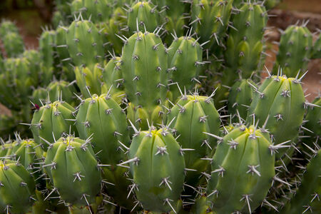 tropical cactus closeup  Stock Photo