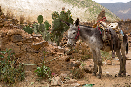 mule with saddle tied with  rope in abandoned town of Real de Catorce 스톡 콘텐츠