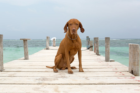 mayan riviera: dog with sand on him sitting on pier in Quintana Roo, Mayan Riviera,Mexico