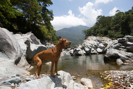 dog rock: traveling pure breed vizsla dog by the Cangrejal river in Pico Bonito national park Honduras with cloud forest in the background