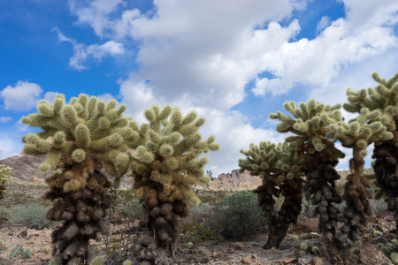 cholla cactus: cholla cactus in the desert of Arizona USA Stock Photo