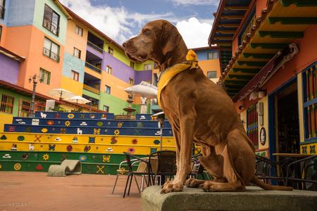 vizsla dog in Guatape