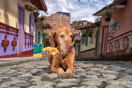 golden vizsla dog laying on the cobblestone street in the colonial town of Guatape Colombia Stock Photo