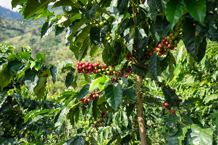 buisson: coffee bush in Colombia Banque d'images