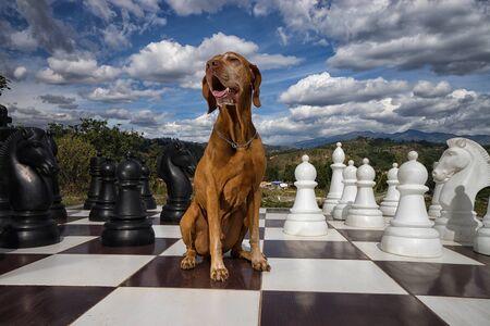 golden colour vizsla dog on chess board Stock Photo