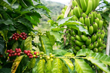 coffee bush and banana tree in Colombia 스톡 콘텐츠
