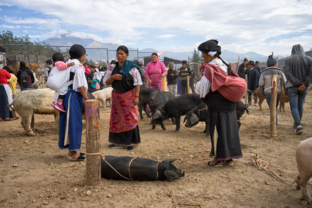 negotiating: August 27, 2016 Otavalo, Ecuador: indigenous people negotiating a large sized pig in the animal market on Saturday early morning