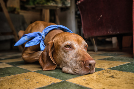 hungarian pointer: calm Hungarian vizsla with scarf laying on the floor Stock Photo